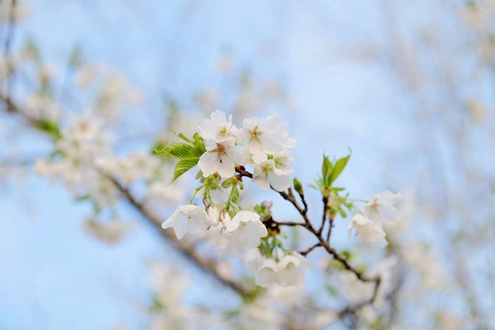 桜も咲いては散るが毎年咲く、心はなんどでも立ち直れることが出来る、心理カウンセラーに相談してみよう